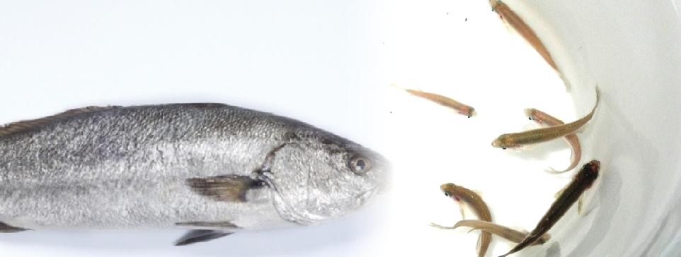 FONDEPES logra la primera reproducción de corvina (Cilus gilberti) en cautiverio en el Perú